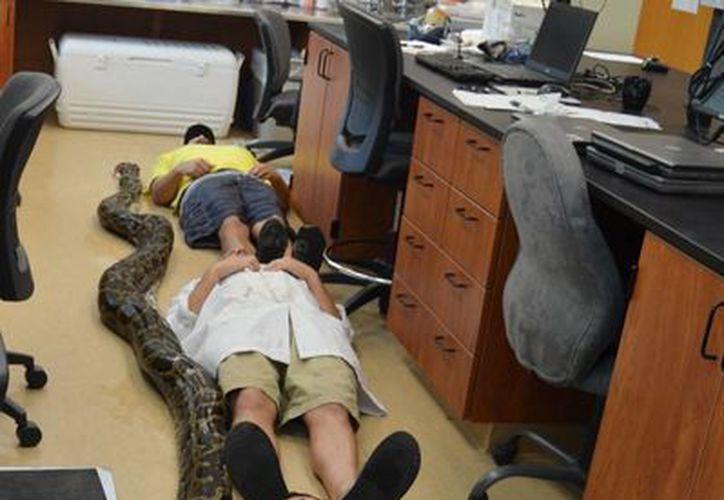 Imagen proporcionada por la Universidad de Florida que muestra el tamaño de la pitón capturada. (AP)