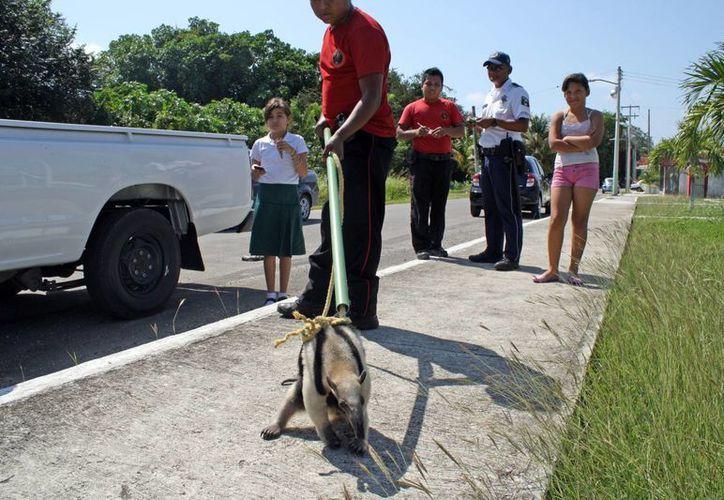 El día de ayer, fue capturado un ejemplar de oso hormiguero. (Juan Palma/SIPSE)