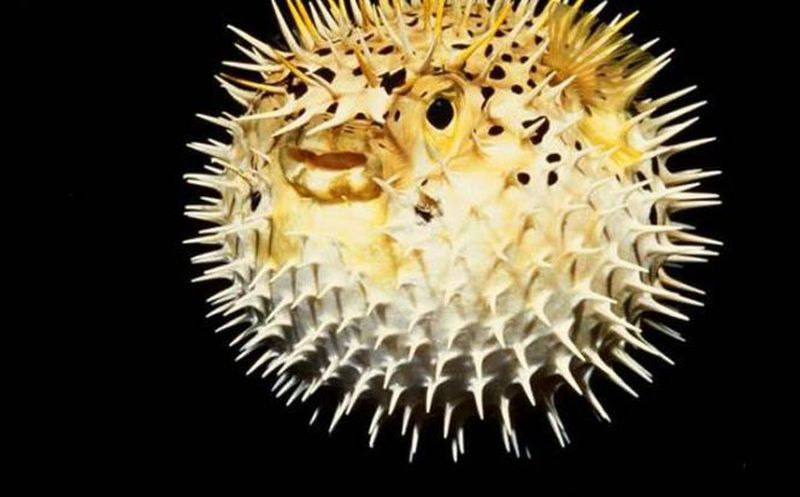 Venden en Japón por error peces fugu altamente venenosos