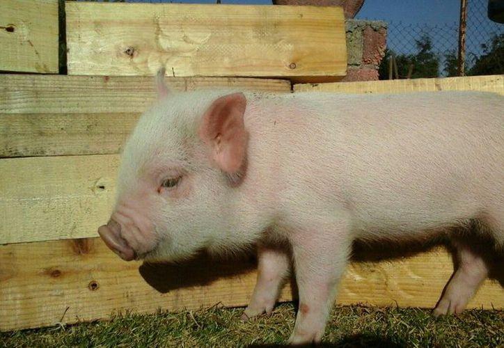 No es la primera ocasión en la que se puede apreciar una situación de este tipo con los cerdos. (Foto: Contexto/Internet).