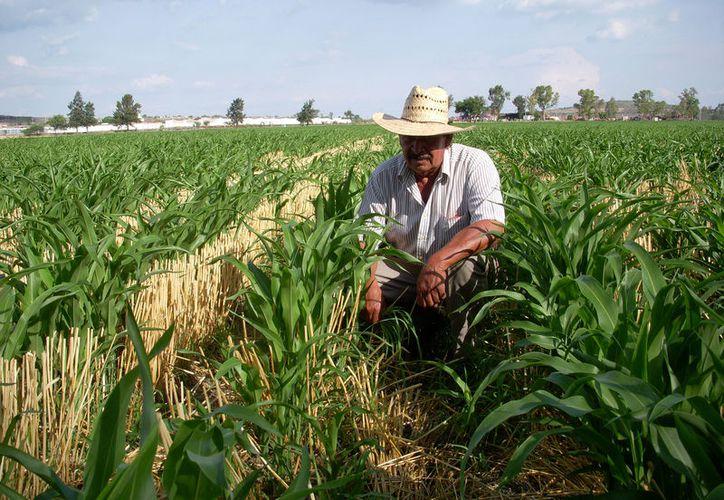 Trabajadores del campo mexicano consideran que el gobierno federal debe aumentar el apoyo a los productores y observar nuevas rutas de exportaciones. (2000agro.com.mx)