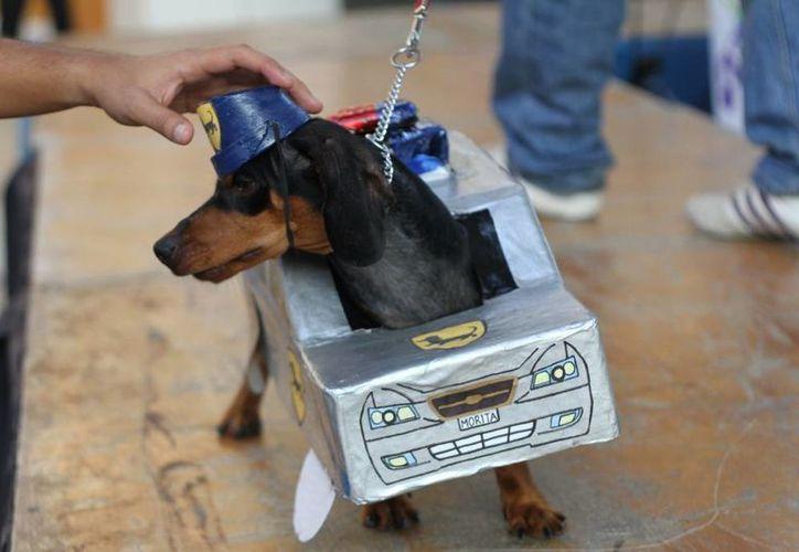 Las mascotas portaron vistosos trajes, como este perro disfrazado de patrulla de policía. (César González/SIPSE)