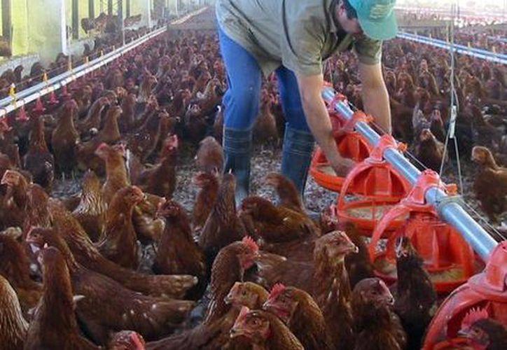 Se pretende proteger a los pollos en reproducción. (SIPSE)