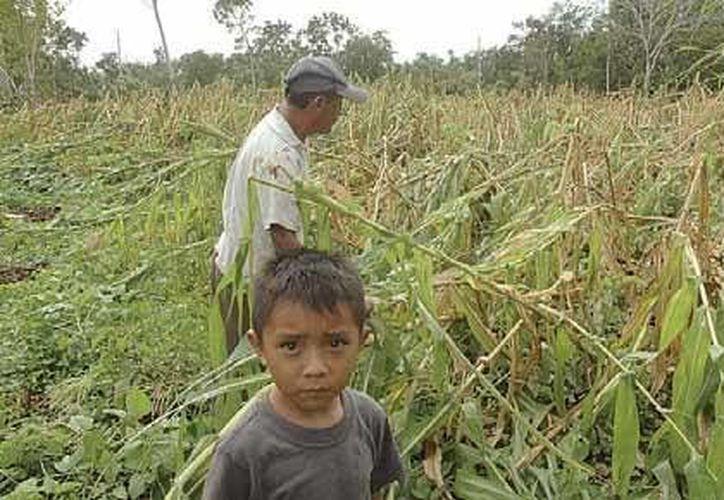 Los campesinos buscan que las aseguradoras no nieguen sus servicios por causa de los daños climatológicos. (Edgardo Rodríguez/SIPSE)