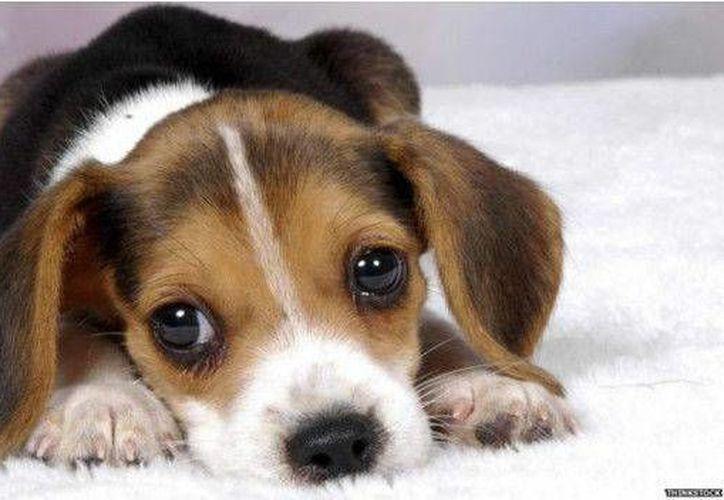 Los científicos sugieren mirar a los ojos a los perros al momento de darles alguna orden. (BBCMundo)