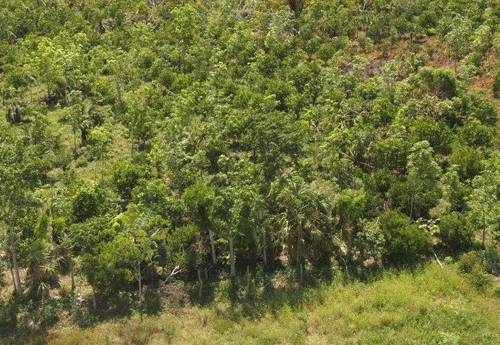 La superficie forestal de Quintana Roo es actualmente de 18 mil kilómetros cuadrados. (Redacción/SIPSE)