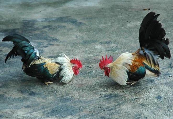 La agrupación actualmente costa de 13 integrantes dedicados a la crianza y entrenamiento de los gallos de pelea. (Foto de Contexo/Internet)