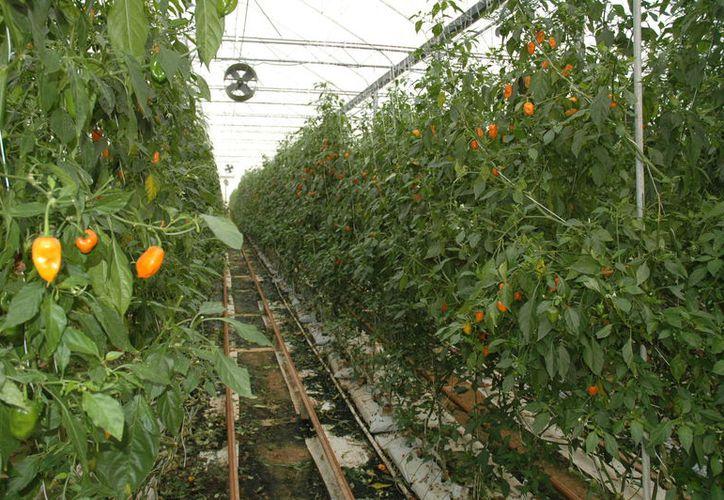 Productores necesitan  acuerdos de comercialización y con ello evitar que los intermediarios generen pérdidas a los productores. (Foto: Juan Rodríguez /SIPSE)