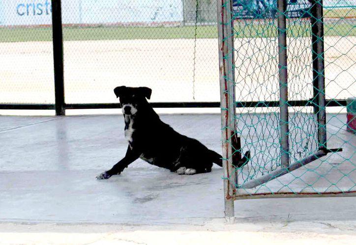 La erradicación de los parásitos se encuentra en todo tipo de animal como perros, gatos y bovinos.  (Foto: Jesús Caamal / SIPSE)