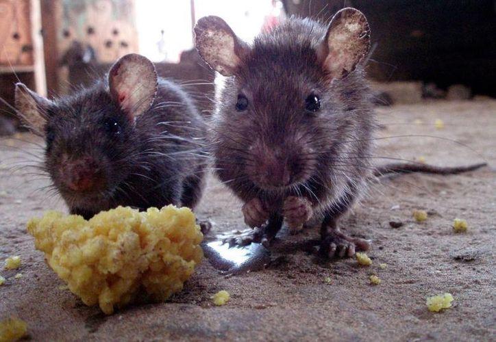 Tan solo en 2015, las autoridades neoyorquinas recibieron más de 29 mil quejas por la presencia de ratas en los condados de la ciudad. (guardianlv.com)