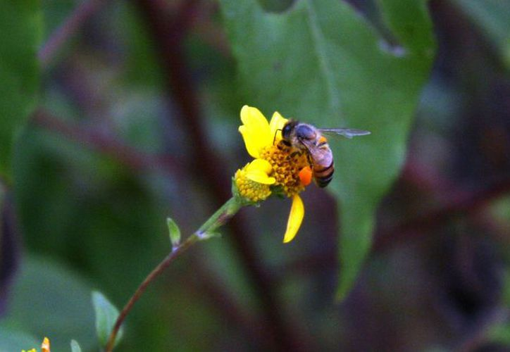 La producción de miel es una tarea cada vez más complicada para las abejas. (Octavio Martínez/ SIPSE)