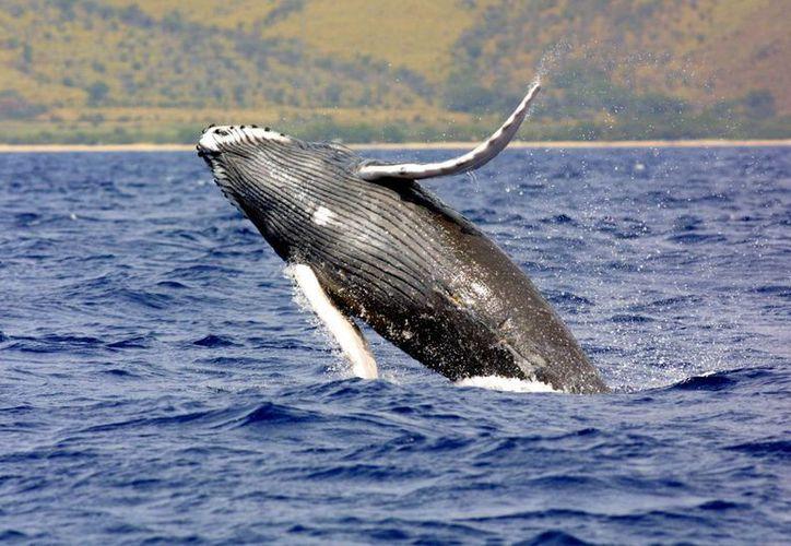 La ballena jorobada ha estado en la 'lista negra' desde hace casi 50 años. (Agencias)