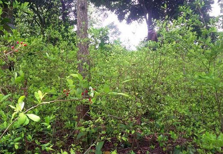 Las plantas de coca son nativas de Sudamérica, pero el arbusto es muy resistente y puede crecer prácticamente en cualquier lugar. (twitter.com/BoletinMexico)