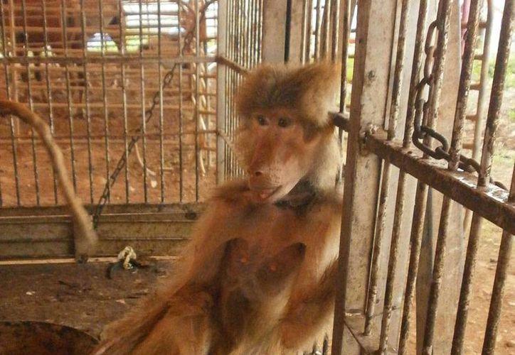 Profepa rescató 20 animales que fueron abandonados por un circo, en Xmatkuil, comisaría de Mérida, entre los que estaban varios papiones sagrados; uno de los monos murió esta mañana, a causa de una severa desnutrición. (Profepa)