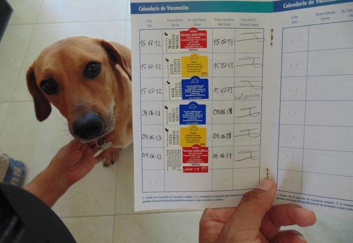 El gusano del corazón es un parásito que afecta al 15% de los perros.  (Yesenia Barradas/SIPSE)