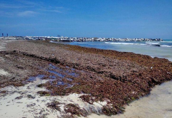 La 'mancha' de sargazo sirve como barrera natural para proteger a la arena de la erosión ocasionada por la marea alta y el oleaje. (Licety Díaz/SIPSE)