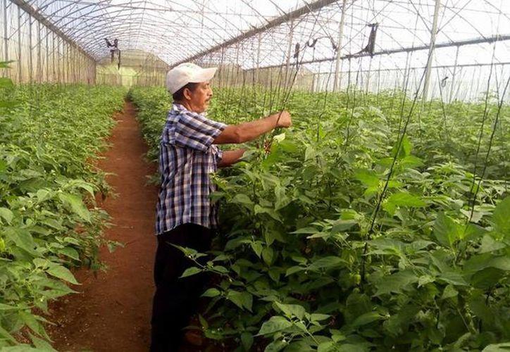 Aprender de otros productores beneficiara a los trabajadores quintanarroenses e impulsará un mejor manejo de sus cultivos.(Benjamín Pat/SIPSE)