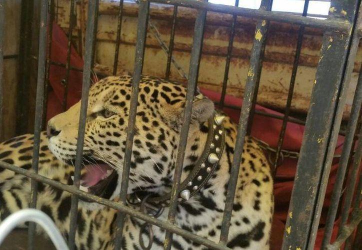 Los animales fueron puestos en reguardo en Unidades de Manejo de la Vida Silvestre en Quintana Roo. (Redacción/SIPSE)
