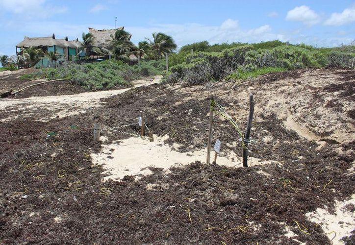 La Dirección de Ecología pidió evitar el uso de la maquinaria porque puede afectar nidos de tortugas. (Sara Cauich/SIPSE)