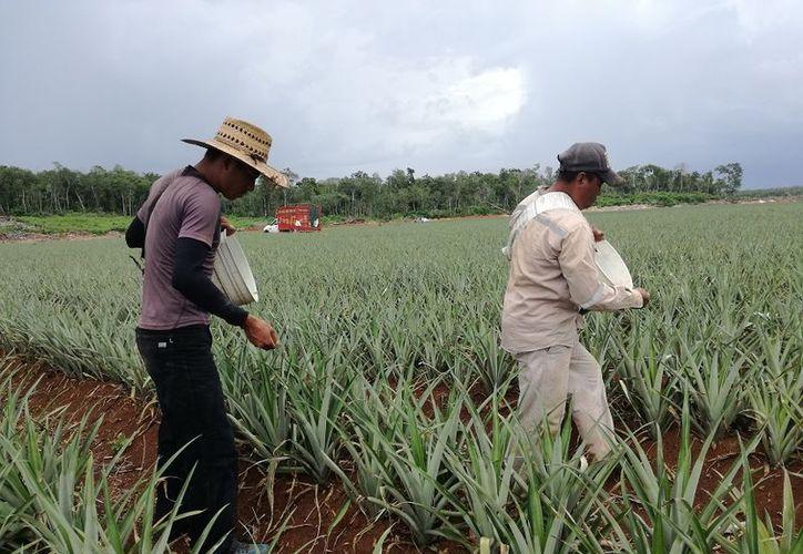 En Bacalar, se aseguraron con Pro Agro un total de 11 mil 680 hectáreas. (Javier Ortiz/SIPSE)