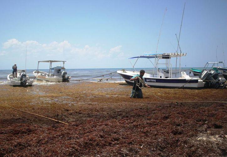Hay quienes recuerdan que en 1980 hubo un recale similar de sargazo a las costas de Playa del Carmen. (Octavio Martínez/SIPSE)