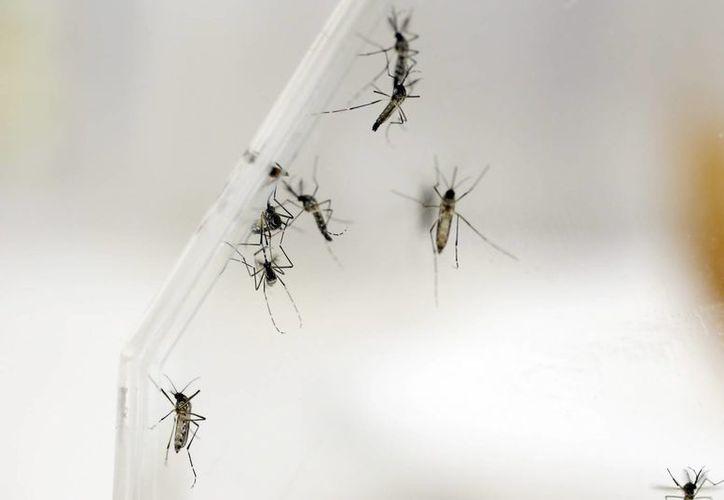 """La OPS remarcó que """"es muy difícil"""" calcular la cifra exacta de infectados. Imagen de varios mosquitos Aedes Aegypti, transmisor del virus del zika. (Archivo/EFE)"""