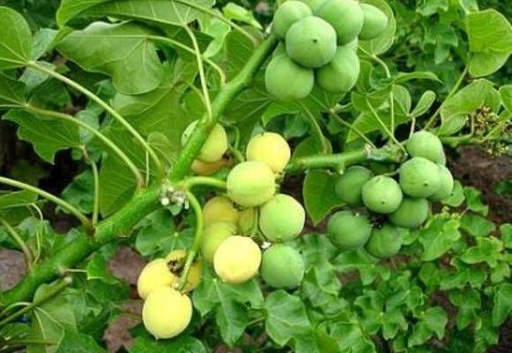 Las semillas del fruto de la planta Jatropha curcas es la usada para extraer el aceite con el que se fábrica el biosiesel. (Contexto/Internet)