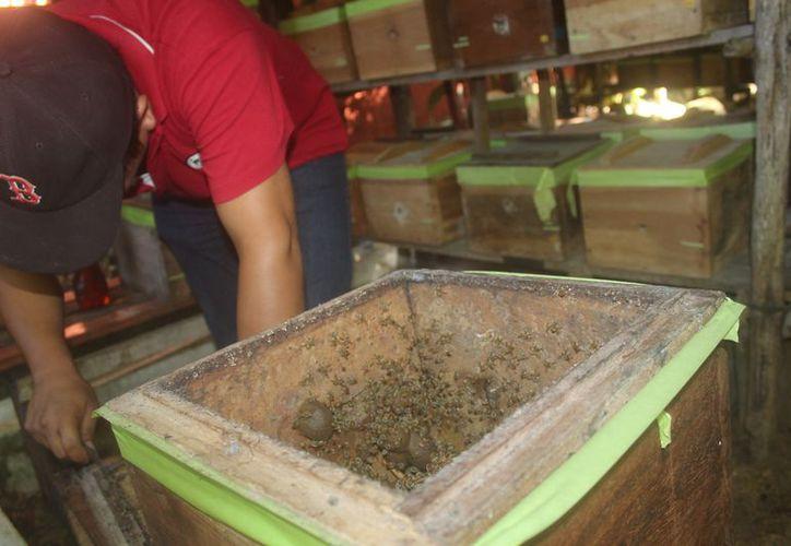 En el municipio se ha dado gran impulso a la producción de la melipona. (Sara Cauich/SIPSE)