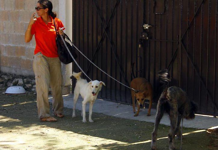 Asociaciones de animales pugnan por una tenencia responsable de mascotas. Imagen de una mujer que saca a sus perros a pasear. (Milenio Novedades)