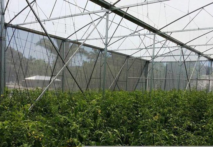 Con los invernaderos se recuperará el negocio de cultivos bajo un ambiente controlado en beneficio de la zona maya. (Edgardo Rodríguez/SIPSE)
