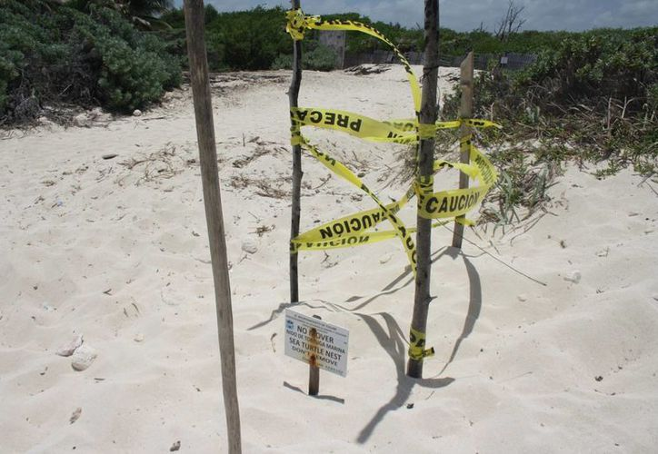 El Comité  Estatal de Manejo y Conservación de la Tortuga Marina analizará el impacto del sargazo en el nacimiento de tortugas. (Adrián Barreto/SIPSE)
