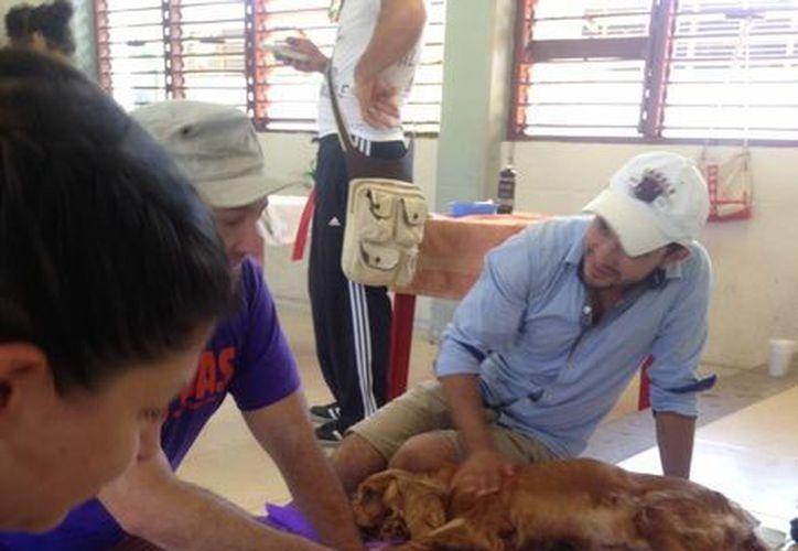 Durante la jornada de esterilización realizada este domingo, se operó a 120 perros y gatos. (Luis Ballesteros/SIPSE)