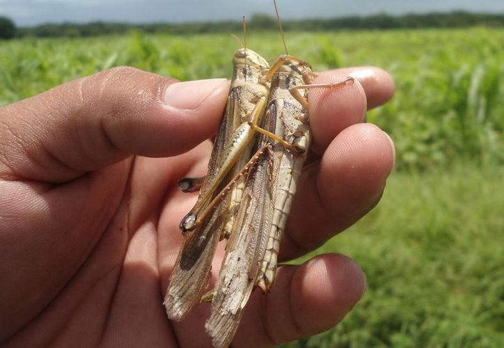 Numerosas plagas de mosquitas y langostas afectan los cultivos de Yucatán. Imagen de un saltamonte, en uno de los plantíos del Estado. (Milenio Novedades)