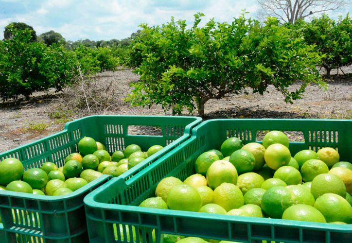 Empresarios afirmaron que el precio de la caja de limón pasó de 300 a 650 pesos. (Javier Ortiz/SIPSE)