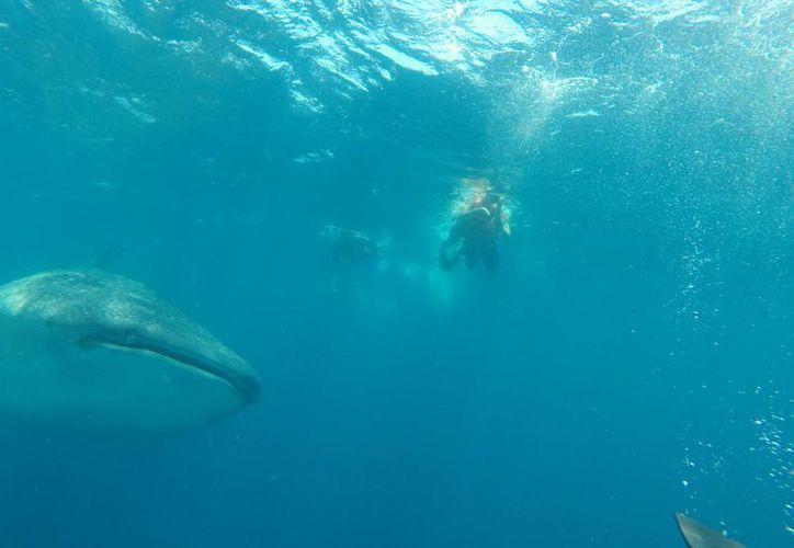 La visita del tiburón ballena es de mayo a septiembre. (Israel Leal/SIPSE)