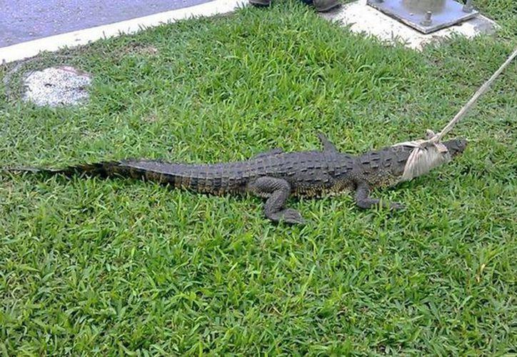 Los corredores dieron aviso a las autoridades de la aparición del cocodrilo. (Redacción/SIPSE)