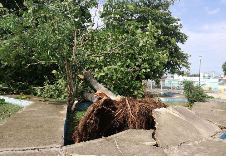 La caída de los árboles no dejó lesionados, ni hogares o vehículos afectados. (Aldo Pallota/ SIPSE)