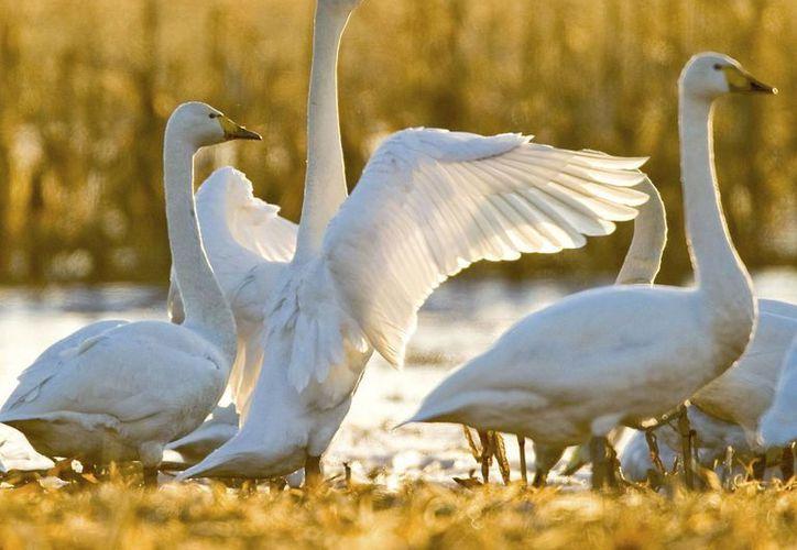 En el Estado hay aproximadamente dos mil 200 cisnes. (Archivo/EFE)