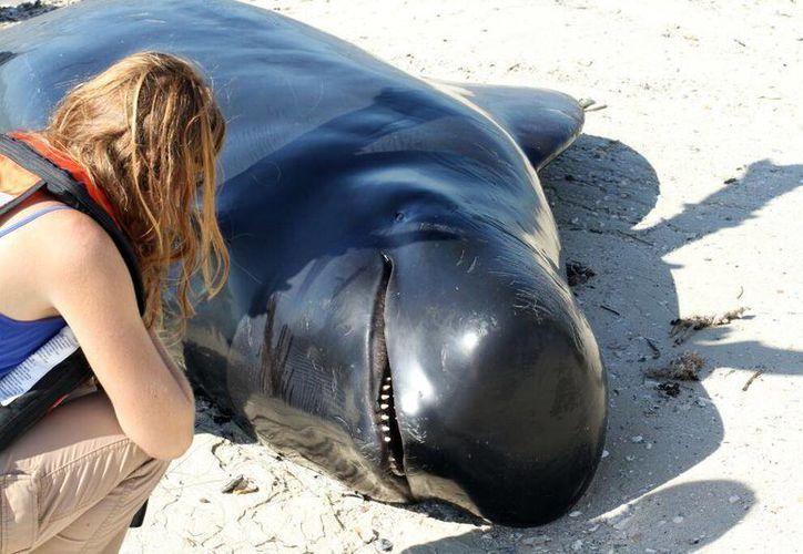 A las ballenas muertas se les practicarán necropsias para determinar qué causó su muerte. (NOAA)