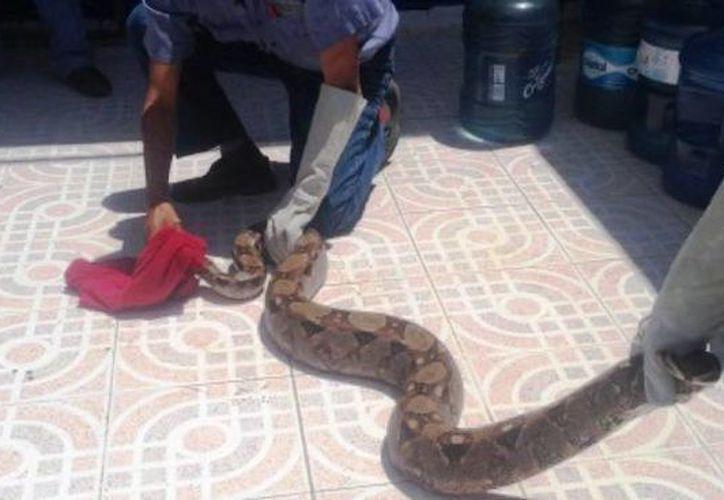 El reptil fue liberado en la zona de la Ruta de los Cenotes. (Cortesía)