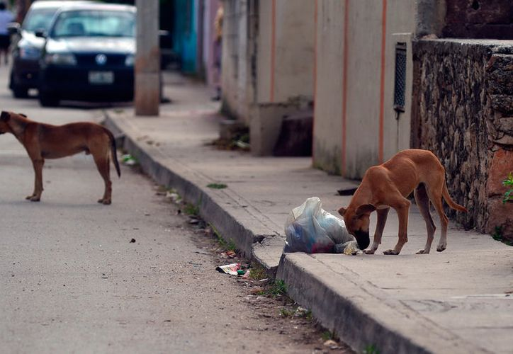Los perros callejeros se han convertido en un verdadero dolor de cabeza para las autoridades, por los problemas de salud, ataques y accidentes de tránsito que causan. (Milenio Novedades)