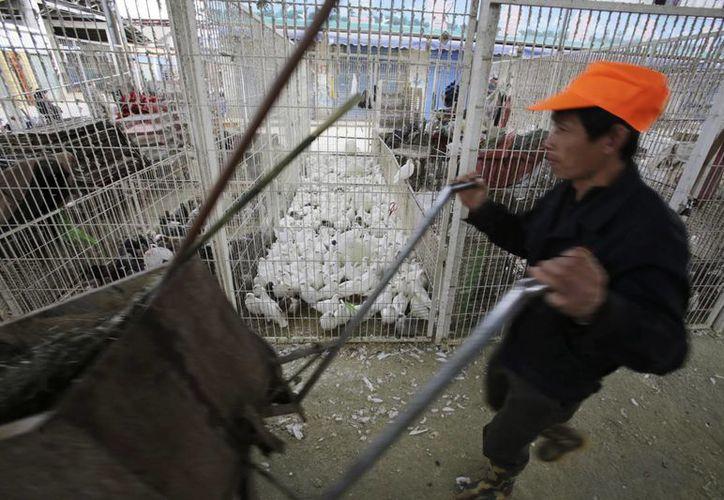 Los agricultores pueden desconocer que el virus está circulando en sus granjas. (Agencias)