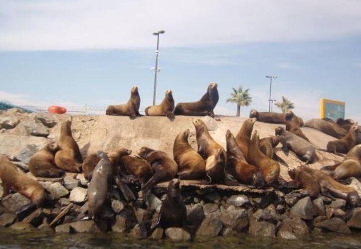 Exigen que se investigue la muerte de lobos marinos cuyos cuerpos son encontrados mutilados enfrente a las costas de Ensenada. (Internet)