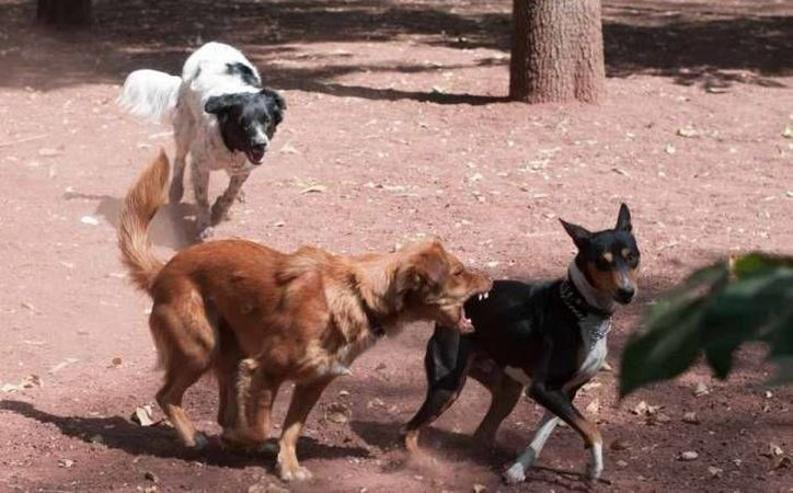 En los últimos meses se han registrado varias muertes por ataques de perros. (Imagen de contexto/Archivo/SIPSE)