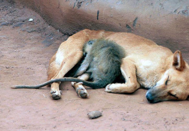 El mono se apresuraba a aferrarse a su madre adoptiva. (Reuters)