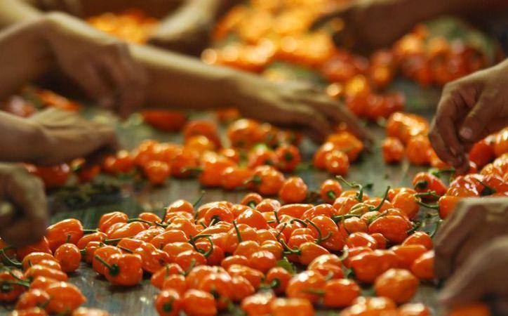 El chile habanero es un ejemplo de que se puede mejorar un producto sin transgénicos. (SIPSE)