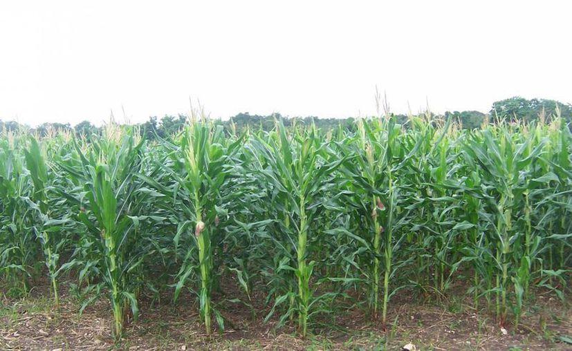 Unas 75 mil hectáreas de maíz no cuentan con seguro en caso de huracán. (Gerardo Amaro/SIPSE)