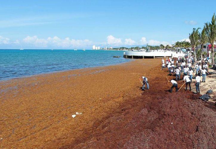 Seis toneladas de sargazo fueron retiradas de la costa oeste de Cozumel este lunes. (Gustavo Villegas/SIPSE)