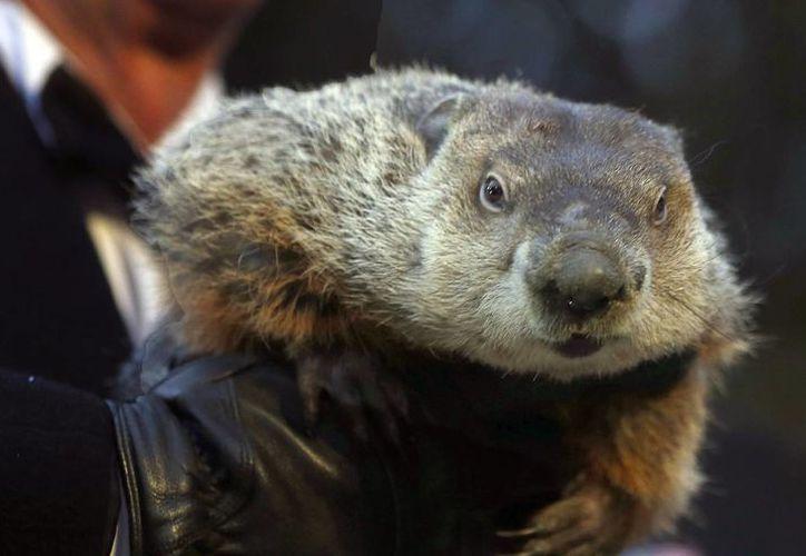 """Imagen del pasado 2 de febrero que muestra a la marmota """"Punxsutawney Phil"""". (AP)"""