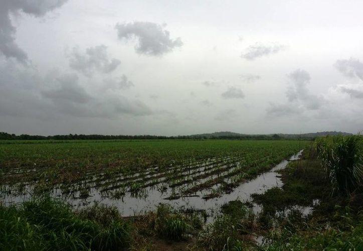 Los niveles de agua de las parcelas cañeras han rebasado los 50 centímetros, lo que ha provocado serias pérdidas de la producción. (Edgardo Rodríguez/SIPSE)